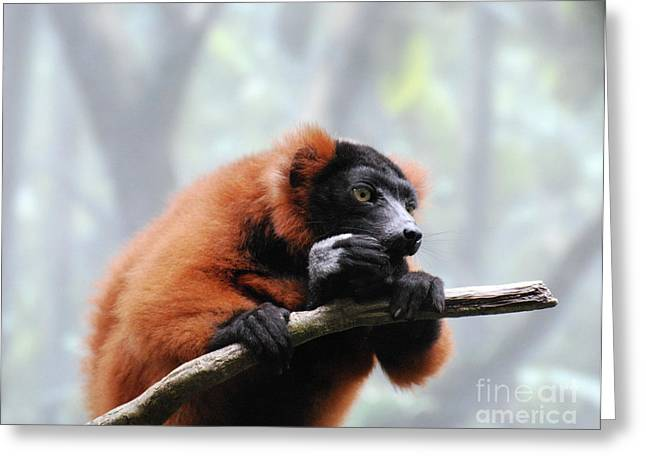 Red Ruffed Lemur Eating On A Tree Branch Greeting Card by DejaVu Designs