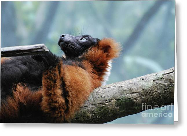 Red Ruffed Lemur Laying On His Back Greeting Card by DejaVu Designs