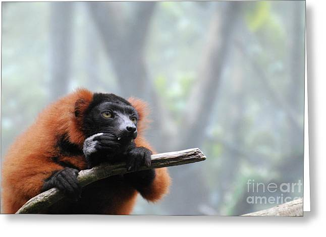 Red Ruffed Lemur Snacking With Sharp Teeth  Greeting Card by DejaVu Designs