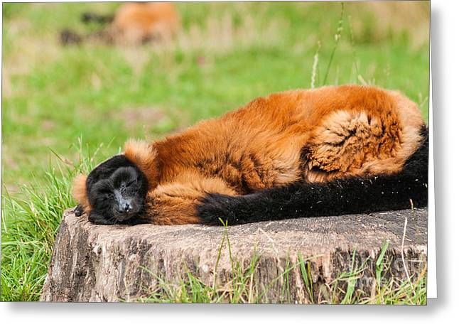 Red Ruffed Lemur Greeting Card by Steve Purnell