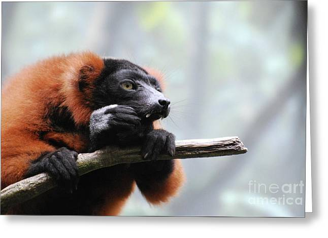 Red Ruffed Lemur With Long Fangs Clinging To A Branch Greeting Card by DejaVu Designs