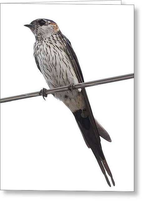 Red-rumped Swallow Vector Isolated  Greeting Card