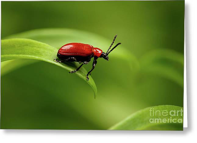 Red Scarlet Lily Beetle On Plant Greeting Card by Sergey Taran