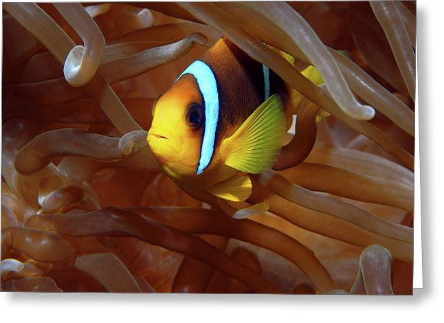 Red Sea Clownfish, Eilat, Israel 8 Greeting Card