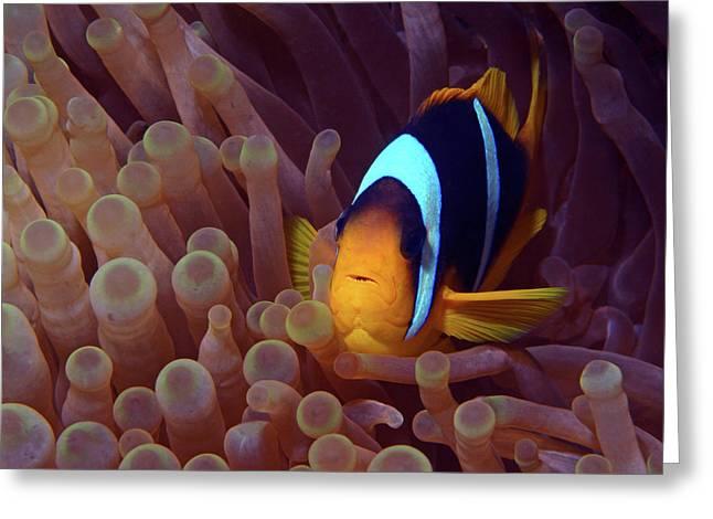 Red Sea Clownfish, Eilat, Israel 9 Greeting Card