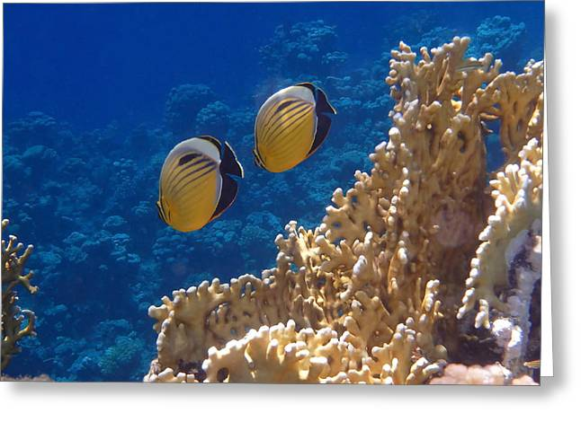 Red Sea Exquisite Butterflyfish  Greeting Card