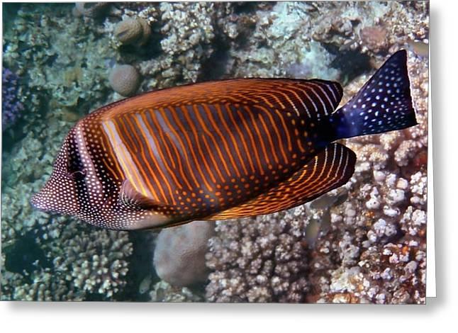 Red Sea Sailfin Tang 3 Greeting Card