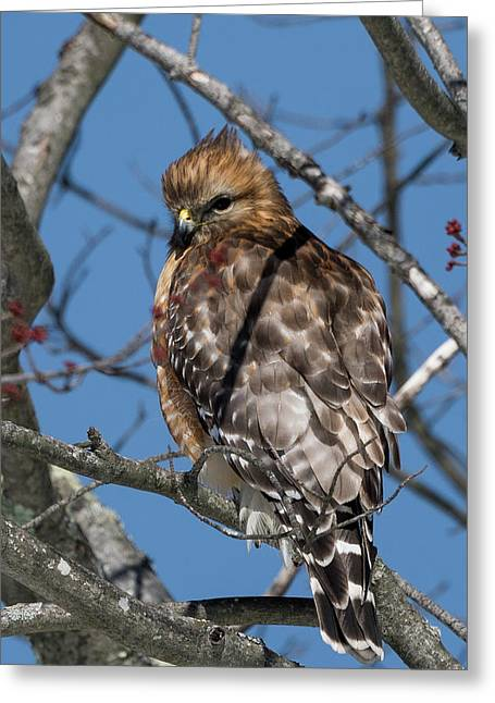 Greeting Card featuring the photograph Red Shouldered Hawk 2017 by Bill Wakeley