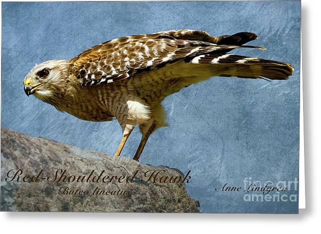 Red-shouldered Hawk Greeting Card by Anne Lindgren