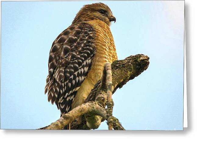 Red-shouldered Hawk - Buteo Lineatus Greeting Card