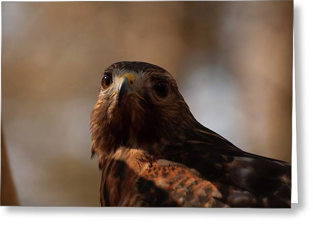 Red Shouldered Hawk Close Up Greeting Card by Chris Flees