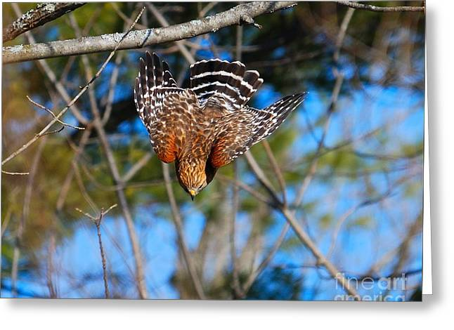 Greeting Card featuring the photograph Red-shouldered Hawk  by Debbie Stahre