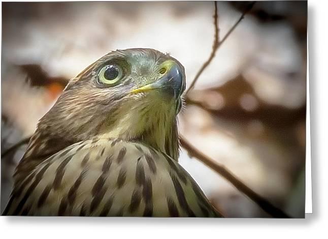 Red-shouldered Hawk Fledgling 3 Greeting Card