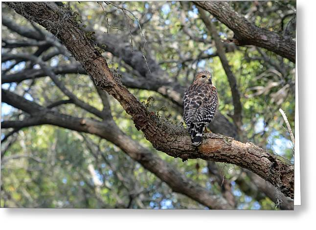 Red Shouldered Hawk In Oak Tree Greeting Card