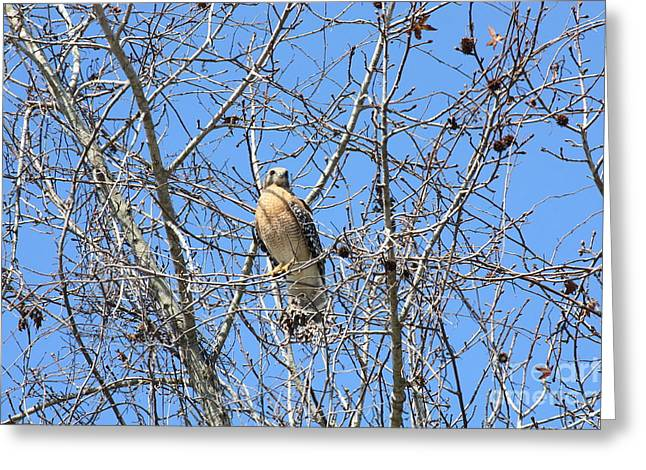 Red-shouldered Hawk In Winter Tree Greeting Card