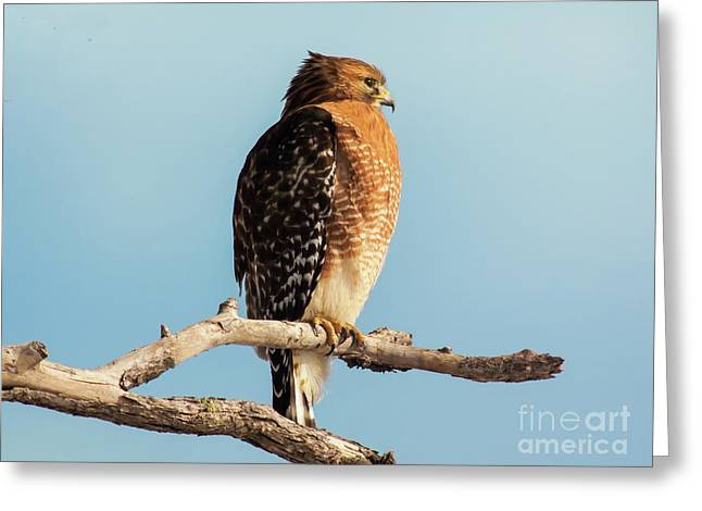 Red-shouldered Hawk Portrait Greeting Card