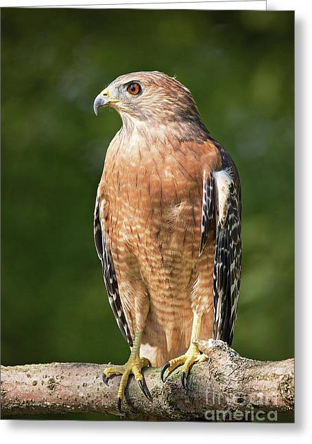 Red Shouldered Hawk Profile Greeting Card