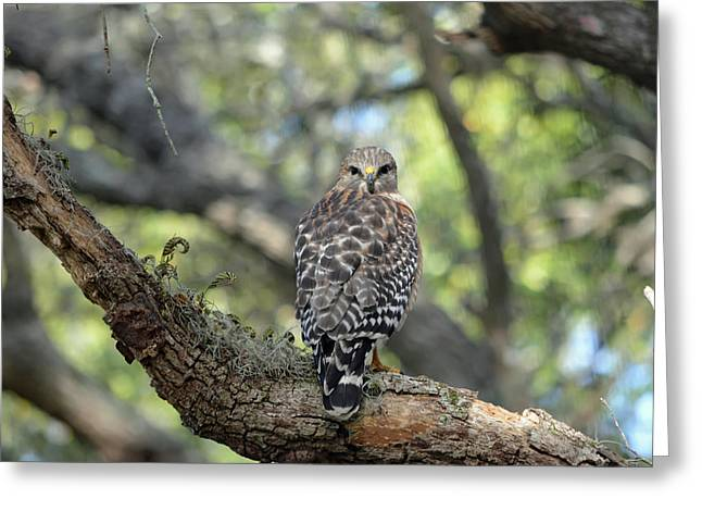 Red Shouldered Hawk Turning Head 180 Greeting Card