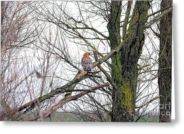 Red Shouldered Hawk Greeting Card by Wingsdomain Art and Photography