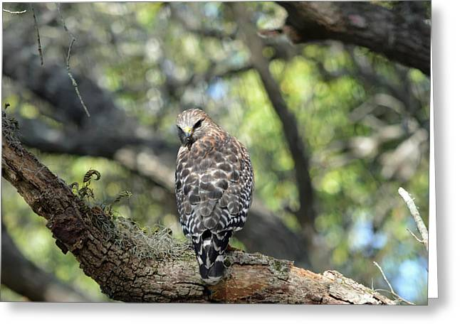 Red Shouldered Hawk With Attitude Greeting Card