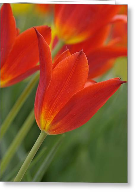 Red Silk Greeting Card by Lyle  Huisken