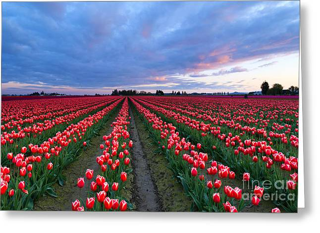 Red Sky Over Tulips Greeting Card by Mike Dawson
