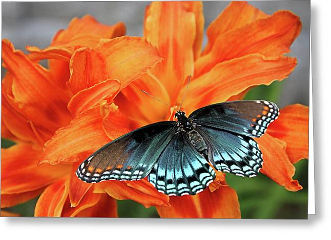Greeting Card featuring the photograph Red Spotted Fritillary by Kristin Elmquist