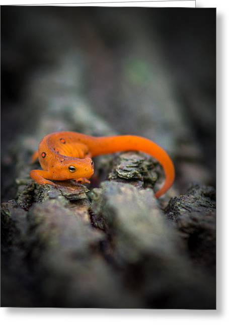 Greeting Card featuring the photograph Red Spotted Newt by Chris Bordeleau