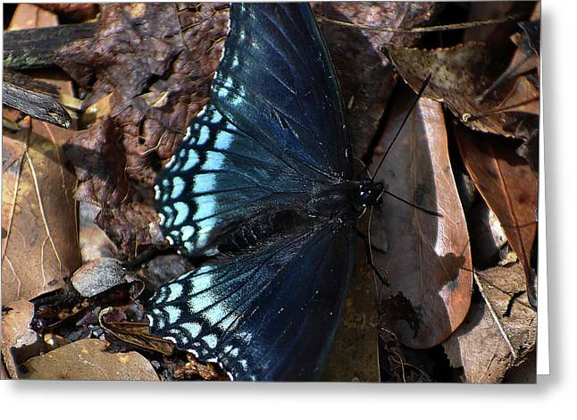 Greeting Card featuring the photograph Red Spotted Purple Admiral by Skip Willits