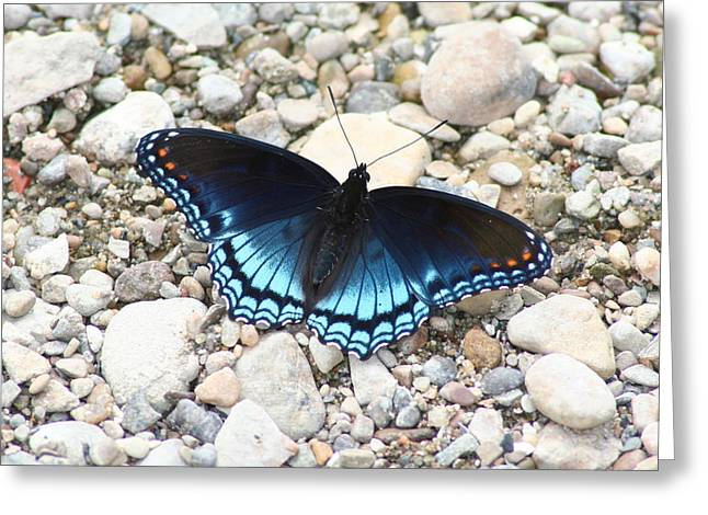 Red Spotted Purple Greeting Card by Jeff VanDyke