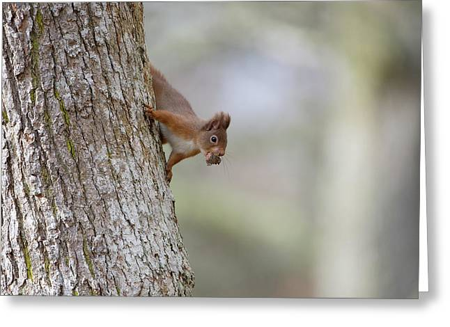 Red Squirrel Climbing Down A Tree Greeting Card