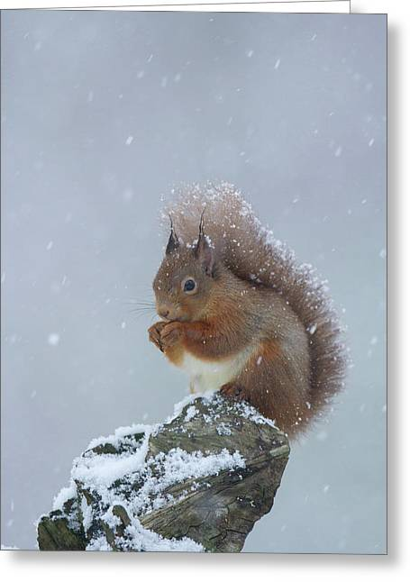 Red Squirrel In A Blizzard Greeting Card