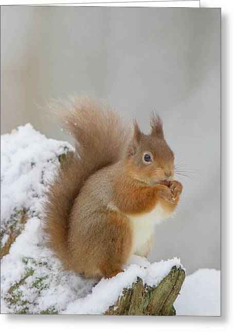Red Squirrel In The Snow Side On Greeting Card