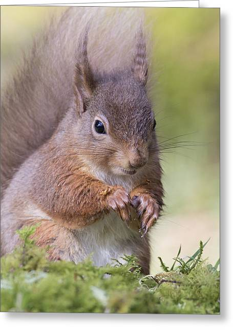 Red Squirrel - Scottish Highlands #1 Greeting Card