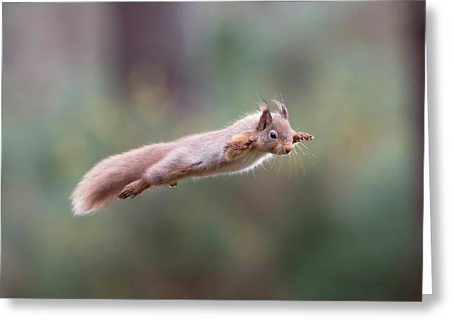 Red Squirrel Leaping Greeting Card