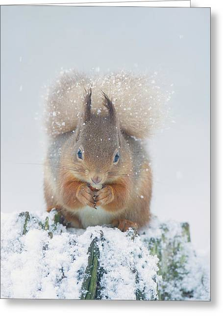 Red Squirrel Nibbles A Nut In The Snow Greeting Card