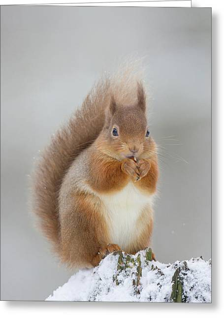 Red Squirrel Nibbling A Hazelnut In The Snow Greeting Card