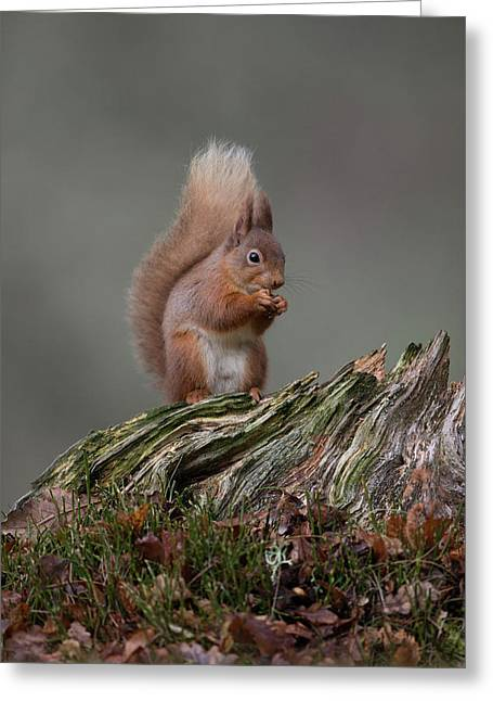 Red Squirrel Nibbling A Nut Greeting Card