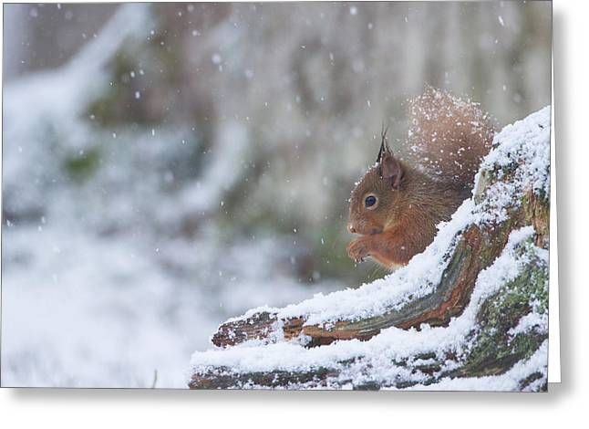 Red Squirrel On Snowy Stump Greeting Card