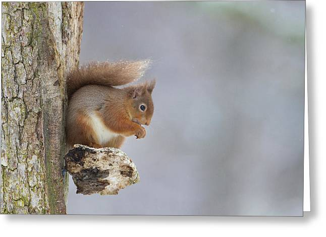 Red Squirrel On Tree Fungus Greeting Card