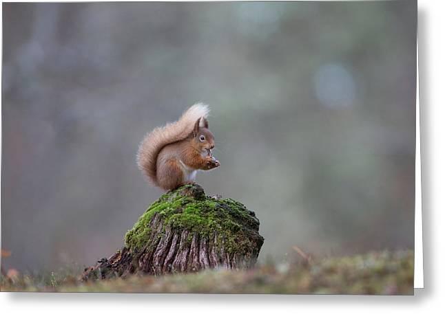 Red Squirrel Peeling A Hazelnut Greeting Card