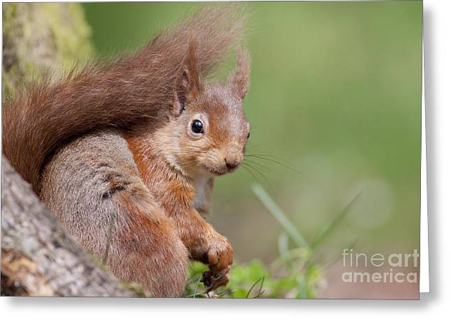 Red Squirrel - Scottish Highlands  #17 Greeting Card