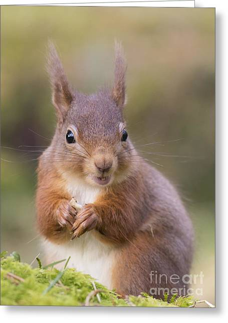 Red Squirrel - Scottish Highlands #18 Greeting Card