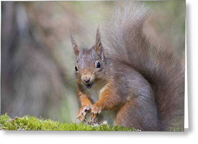Red Squirrel - Scottish Highlands #26 Greeting Card
