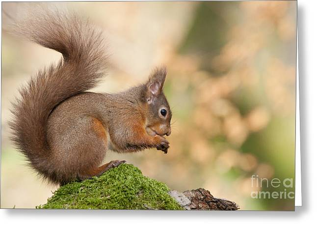 A Moment Of Meditation - Red Squirrel #27 Greeting Card