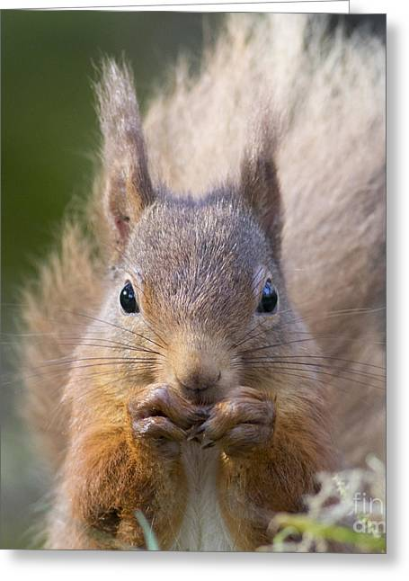 Red Squirrel - Scottish Highlands #28 Greeting Card