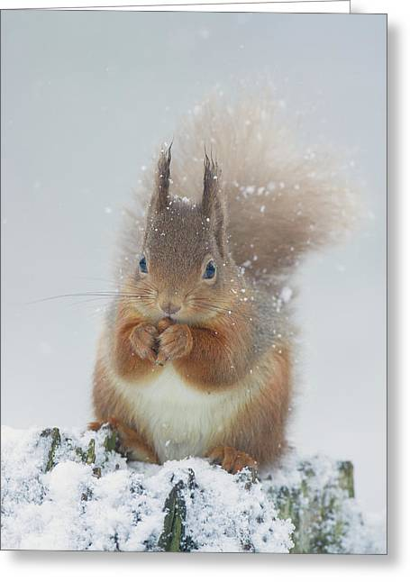 Red Squirrel With Snowflakes Greeting Card