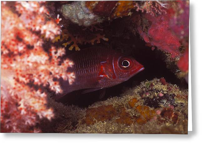 Red Squirrelfish Hiding Under Reef Greeting Card by James Forte