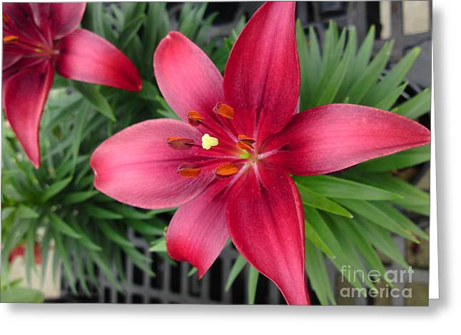 Red Stargazer Lily Greeting Card by DebiJeen Pencils