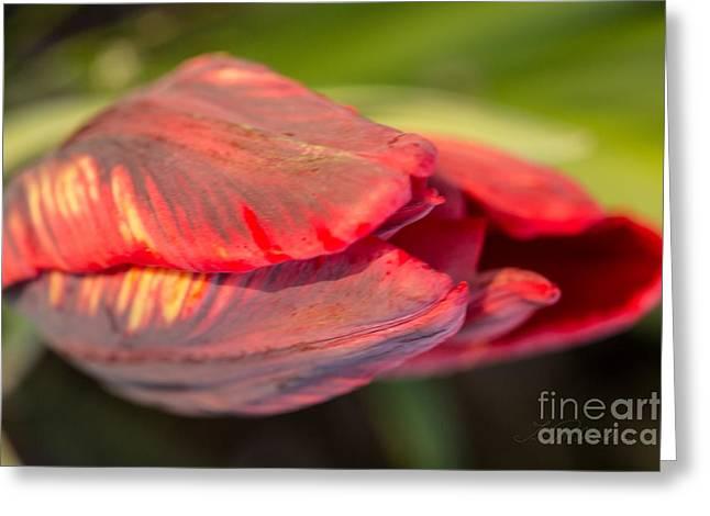 Red Striped Tulip Greeting Card by Iris Richardson